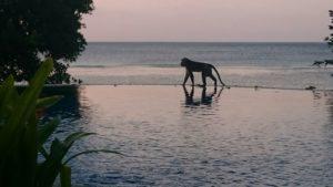 Ape on Pool